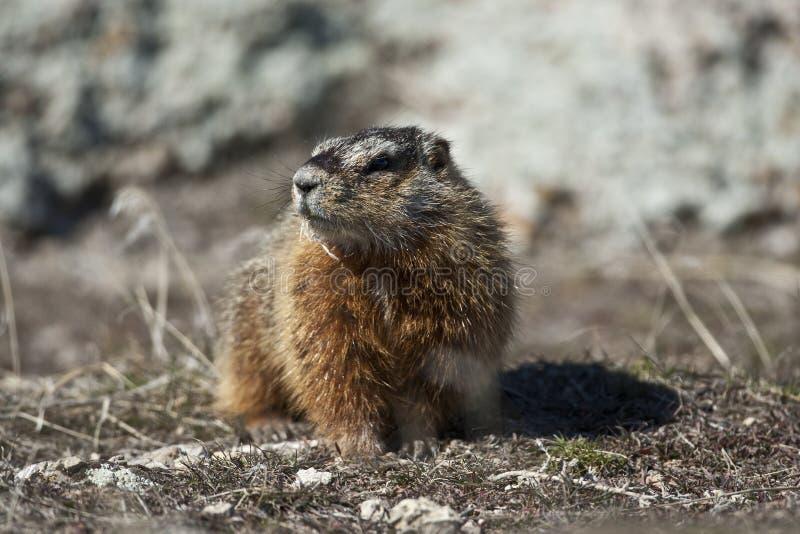 Rockchuck (Marmota caligata) zdjęcia royalty free