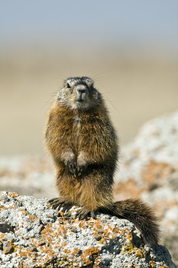 Rockchuck (Marmota caligata) stock photo
