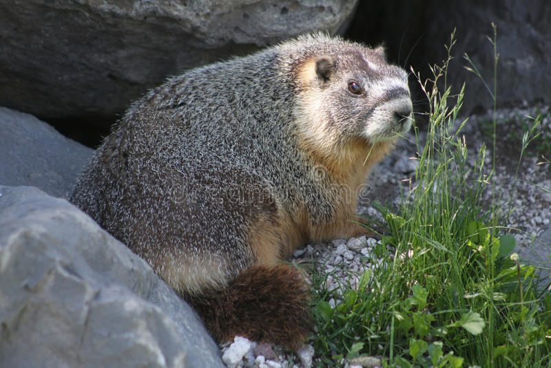 Rockchuck (Marmota flaviventris) lizenzfreies stockbild