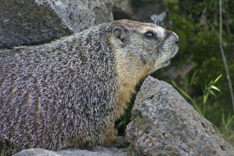 Rockchuck (marmota Yellow-bellied) imagenes de archivo
