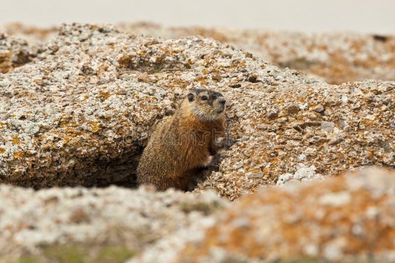 Rockchuck (Marmotacaligata) arkivfoto