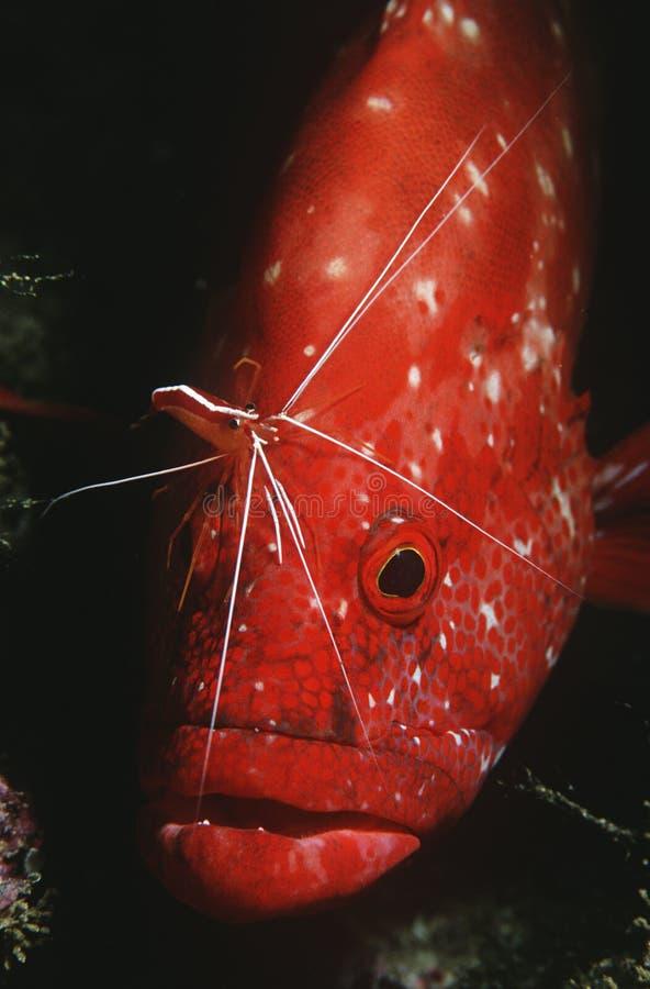 Rockcod för Mocambique Indiska oceanentomat (den Cephalophlis sonneratien) som göras ren av mer ren närbild för räka (den Lysmata  arkivbild