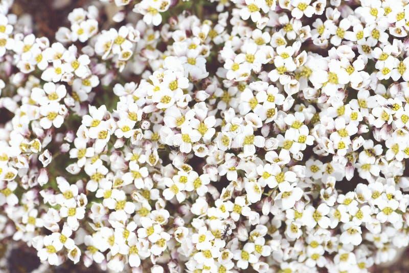 Rockcress blommar i fullframebakgrund royaltyfri fotografi
