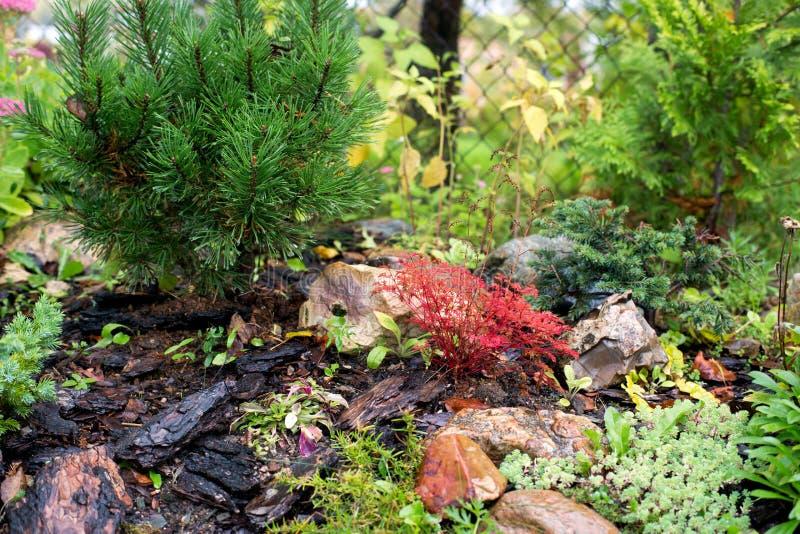 Rockery сосны в осени в саде стоковые фото