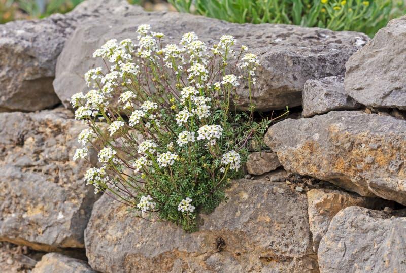 Rockery z białymi kwiatami obraz stock