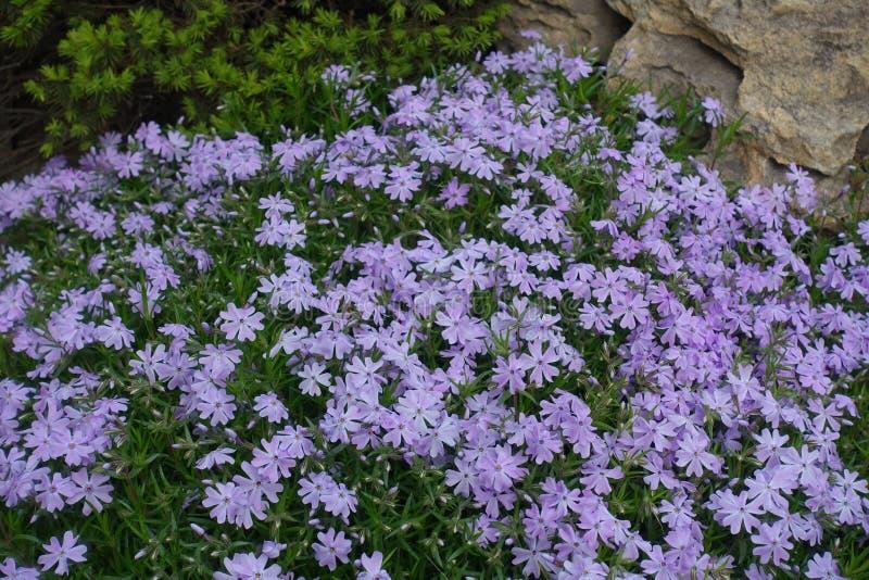Rockery z kwiatonośnym floksa subulata w wiośnie obraz royalty free
