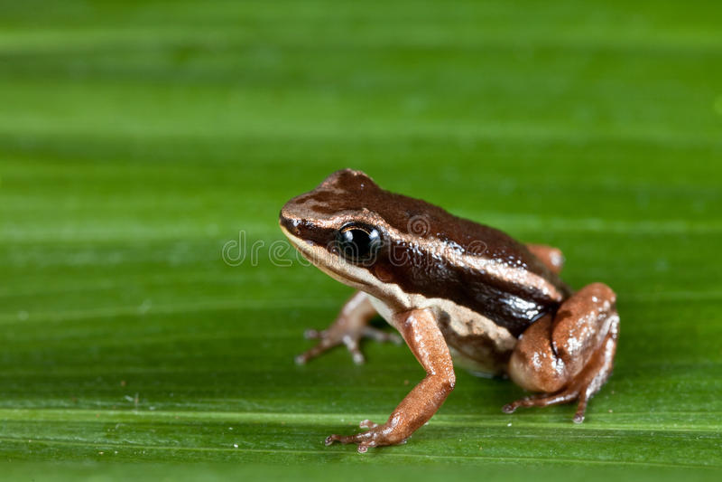 Rocket frog cColostethus talamancae royalty free stock images