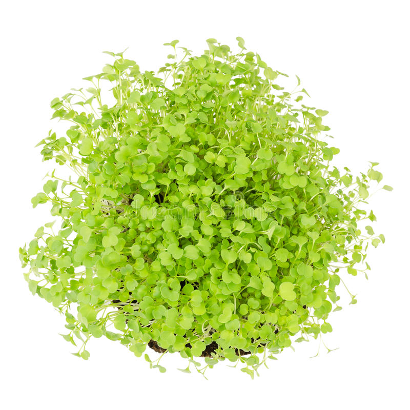 Rocket salad or arugula sprouts froma bove. Rocket salad, fresh sprouts and young leaves from above on white background. Edible salad vegetable and microgreen royalty free stock photos
