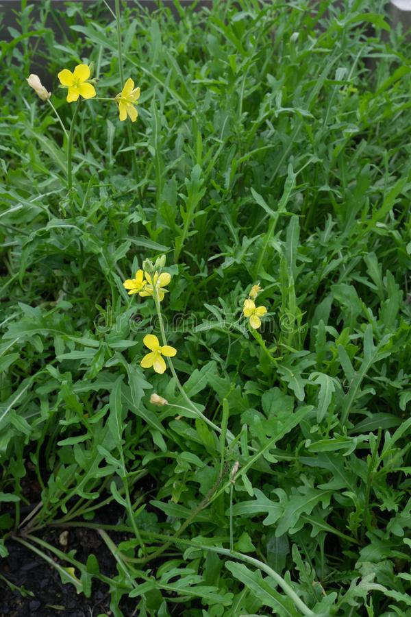 Rocket salad leaves and flowers - plant has gone to seed. Also k. Nown as Eruca sativa, arugula, rucola, rucoli, rugula, colewort, and roquette. Portrait stock image