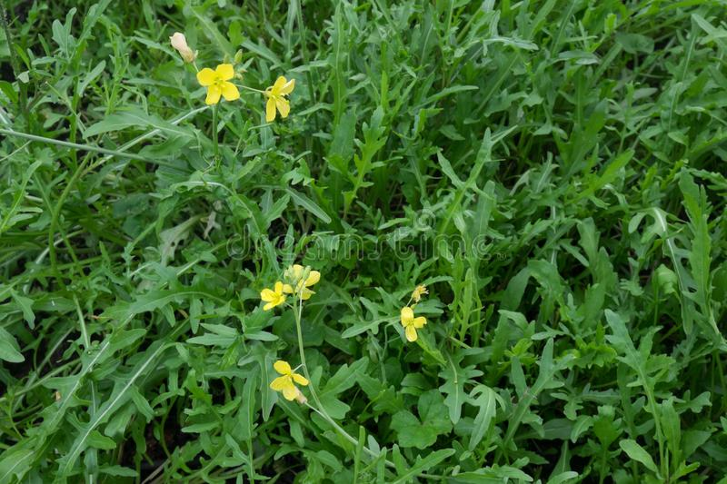 Rocket salad leaves and flowers - plant has gone to seed. Also k. Nown as Eruca sativa, arugula, rucola, rucoli, rugula, colewort, and roquette. Landscape stock images