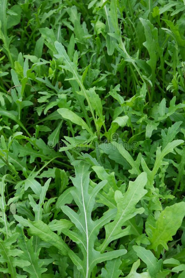 Rocket salad plant leaves growing in garden. Also known as Eruca sativa, arugula, rucola, rucoli, rugula, colewort, and roquette. Photographed in New Zealand stock photos