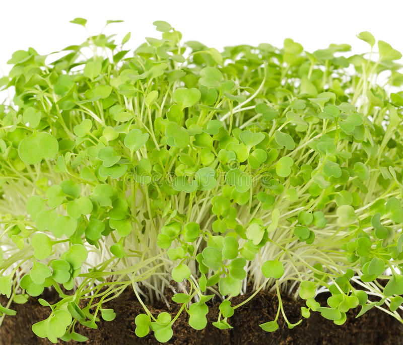 Rocket salad sprouts, arugula, front view. Rocket salad, fresh sprouts and young leaves front view over white. Salad vegetable and microgreen. Also known as stock photo