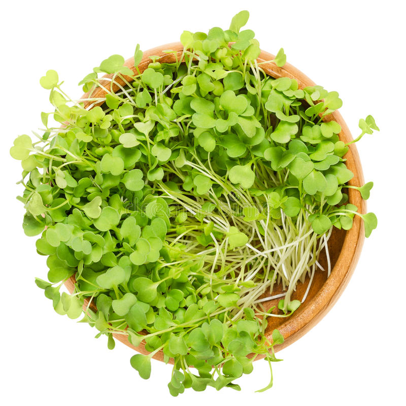 Rocket salad sprouts, arugula, in wooden bowl over white. Rocket salad sprouts in wooden bowl. Leaves and cotyledons of Eruca sativa, also arugula, rucola or stock photography