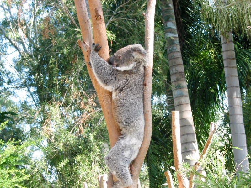 Rockhampton Koala και πάρκο φύσης, και πόλη στοκ φωτογραφίες