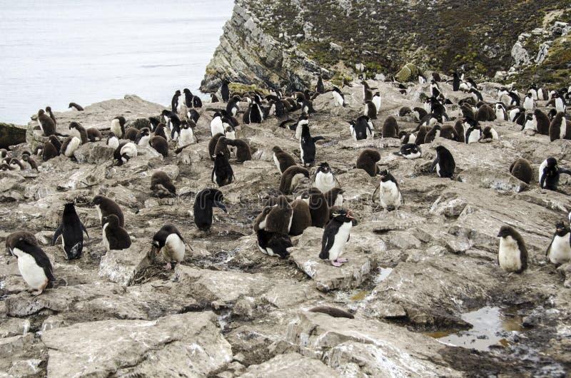 ROCKHOPPER企鹅殖民地 免版税库存图片