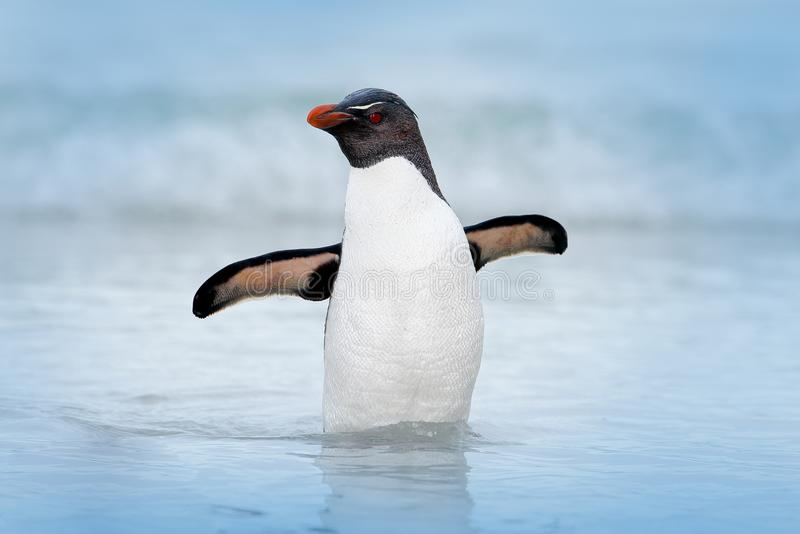 Rockhopper企鹅, Eudyptes chrysocome,游泳在水中,飞行上面波浪 黑白海鸟,海狮岛, Fa 库存图片