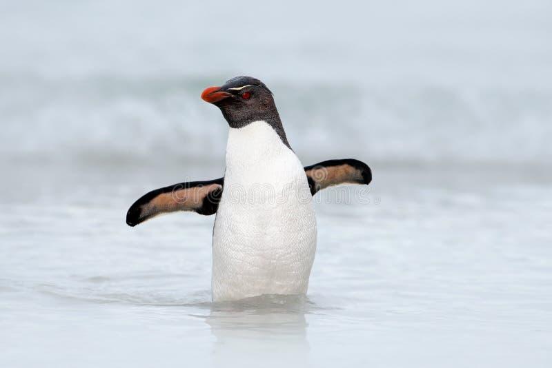 Rockhopper企鹅, Eudyptes chrysocome,游泳在海波浪,通过有开放翼的海洋,福克兰群岛 免版税库存图片
