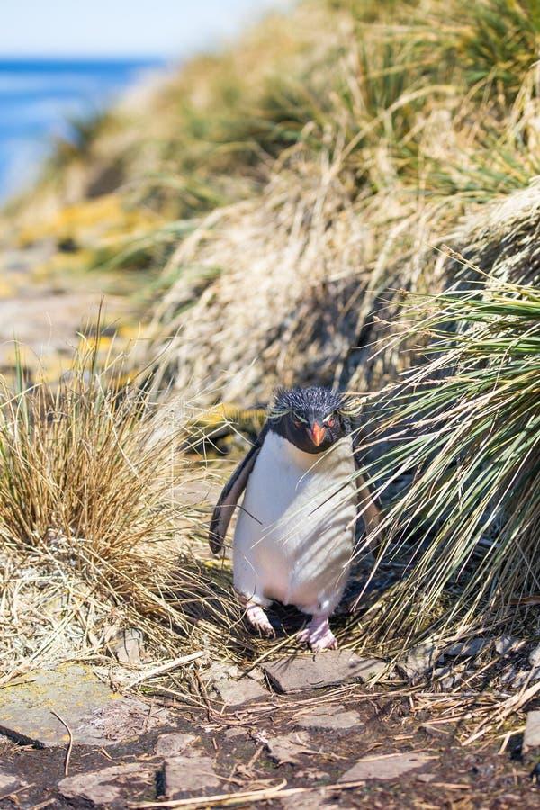 Rockhopper Penguin που έρχεται μέσω της χλόης στην αποικία στοκ φωτογραφία με δικαίωμα ελεύθερης χρήσης