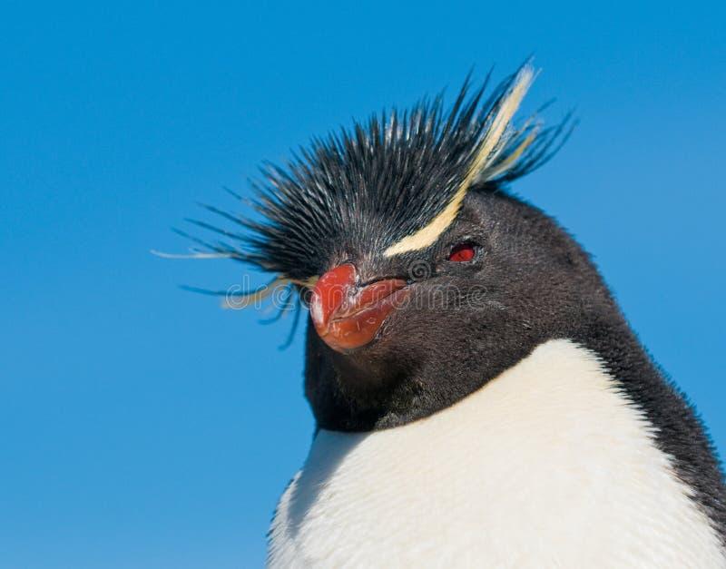Rockhopper penguin stock image