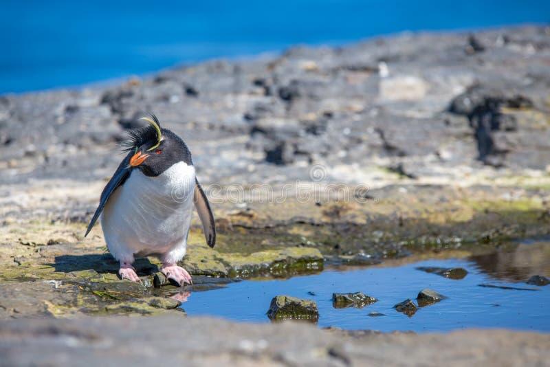 Rockhopper Penguin (Eudyptes chrysocome) από τη λίμνη βράχου στοκ φωτογραφία με δικαίωμα ελεύθερης χρήσης