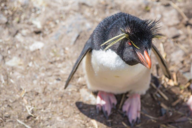 Rockhopper Penguin (Eudyptes chrysocome) που ανατρέχει στοκ εικόνες