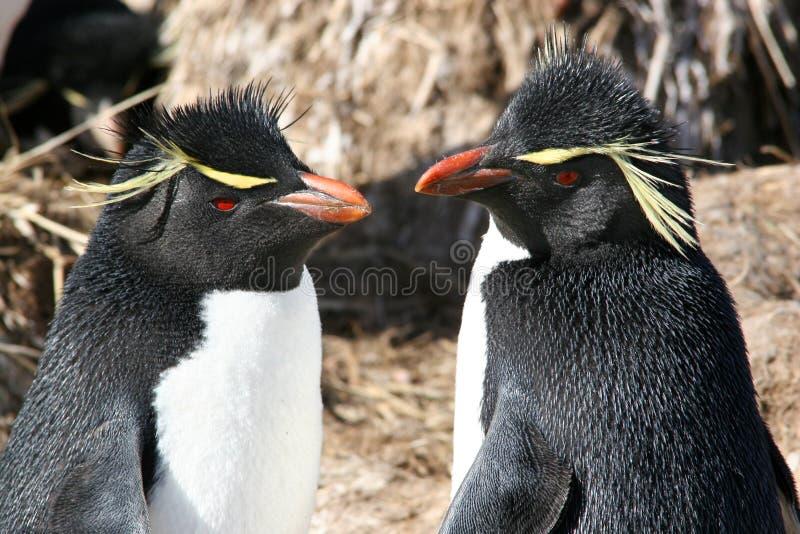 Rockhopper penguins stock images
