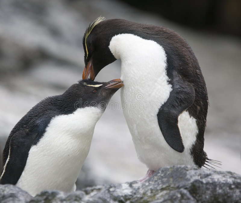 Rockhopper Penguins preening stock photography