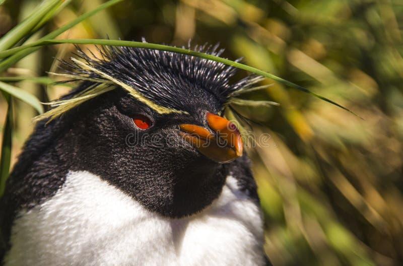 Rockhopper Pinguin stockfoto