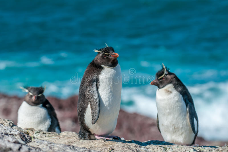 Rockhopper-Pinguine lizenzfreie stockbilder