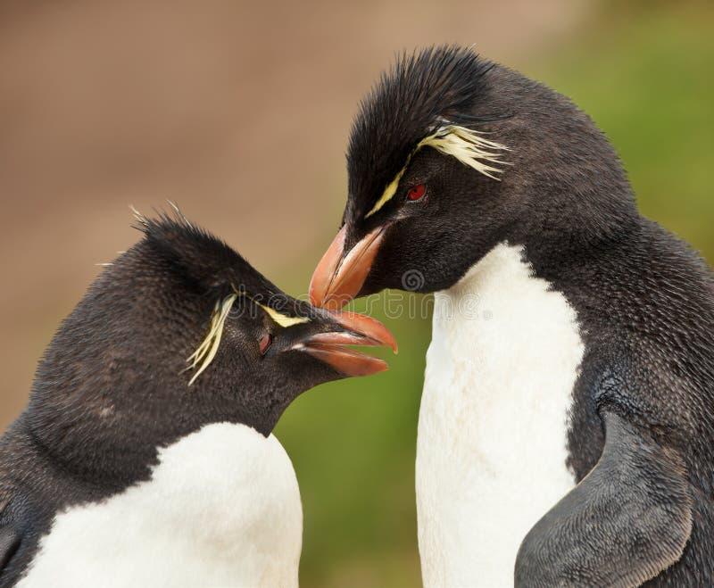 Rockhopper-Pinguine, die sich putzen stockbilder