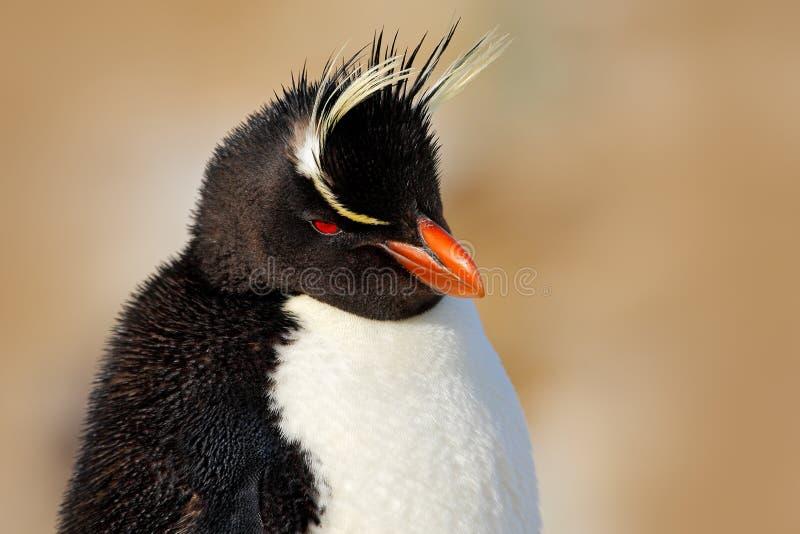 Rockhopper pingvin, Eudypteschrysocome, detaljstående av den sällsynta fågeln, i vagganaturlivsmiljön, svartvit havsfågel, hav L royaltyfri foto