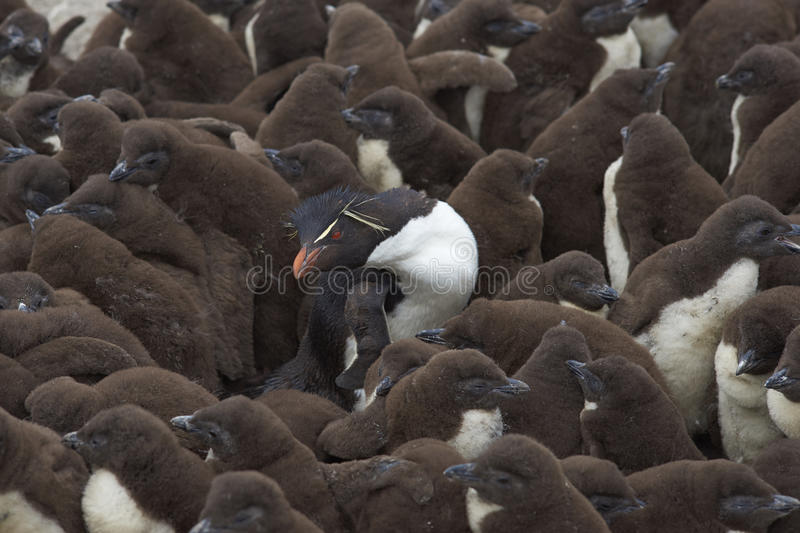 Rockhopper pingvincreche - Falkland Islands royaltyfri bild