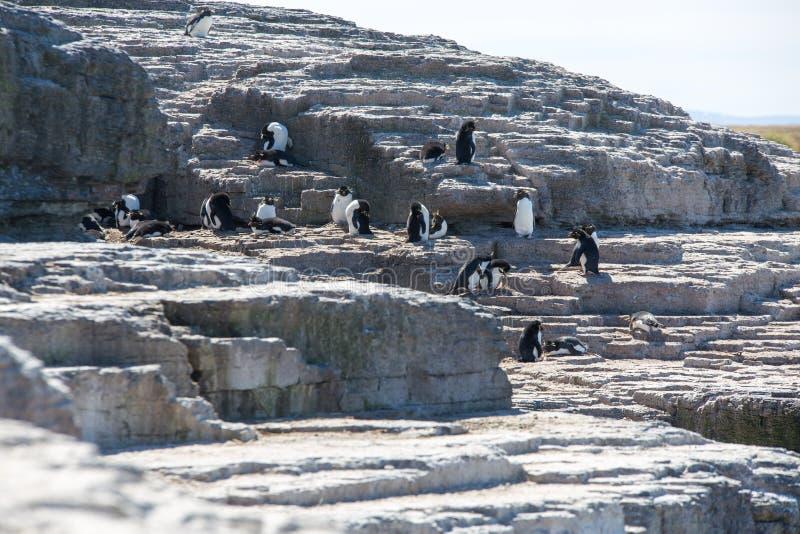 ROCKHOPPER pingwinu kolonia obraz stock