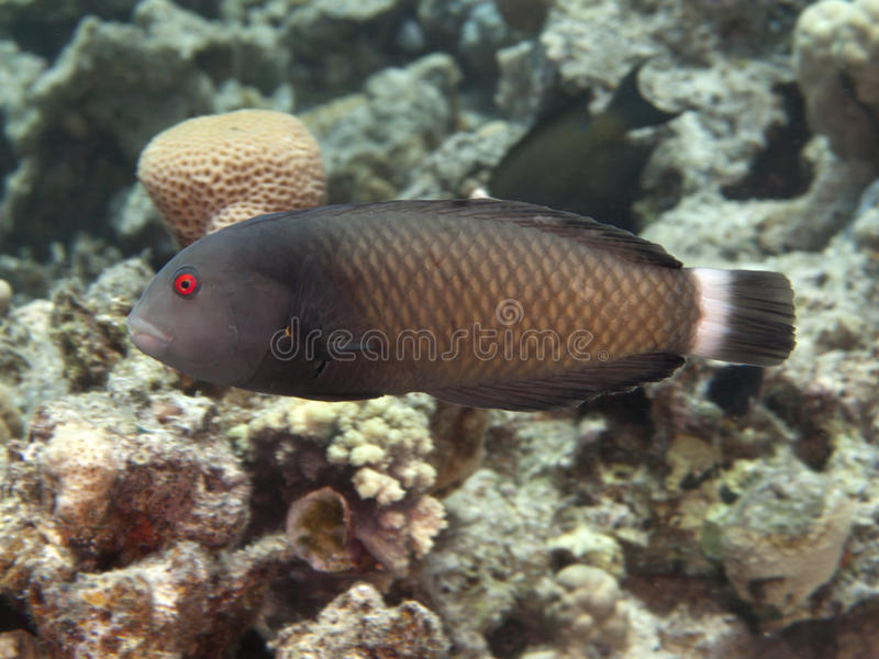 Rockmover wrasse royalty free stock images