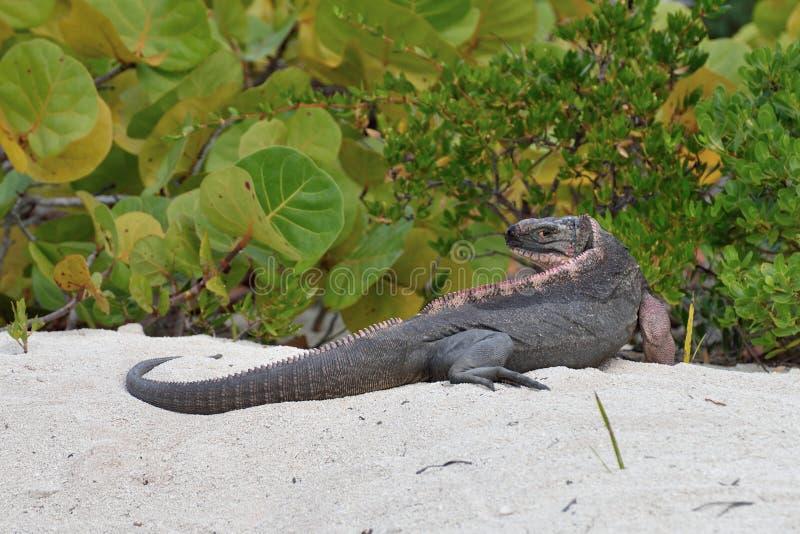 Rockowa iguana fotografia royalty free