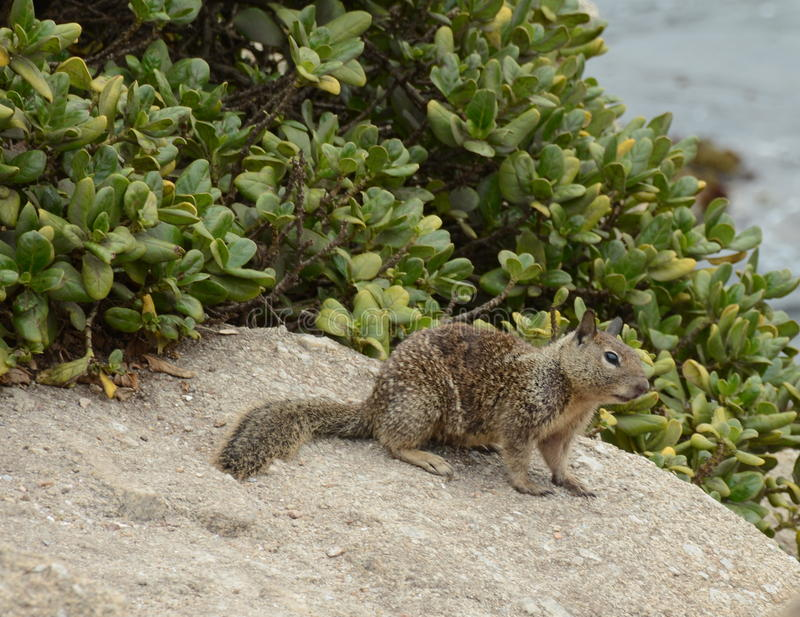 Rockowa wiewiórka zdjęcia royalty free