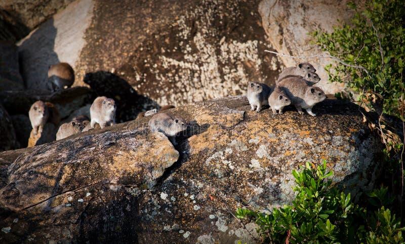 Download Rockowego Góralka Stado W Serengeti, Tanzania, Afryka. Obraz Stock - Obraz złożonej z tanzania, stado: 28951193