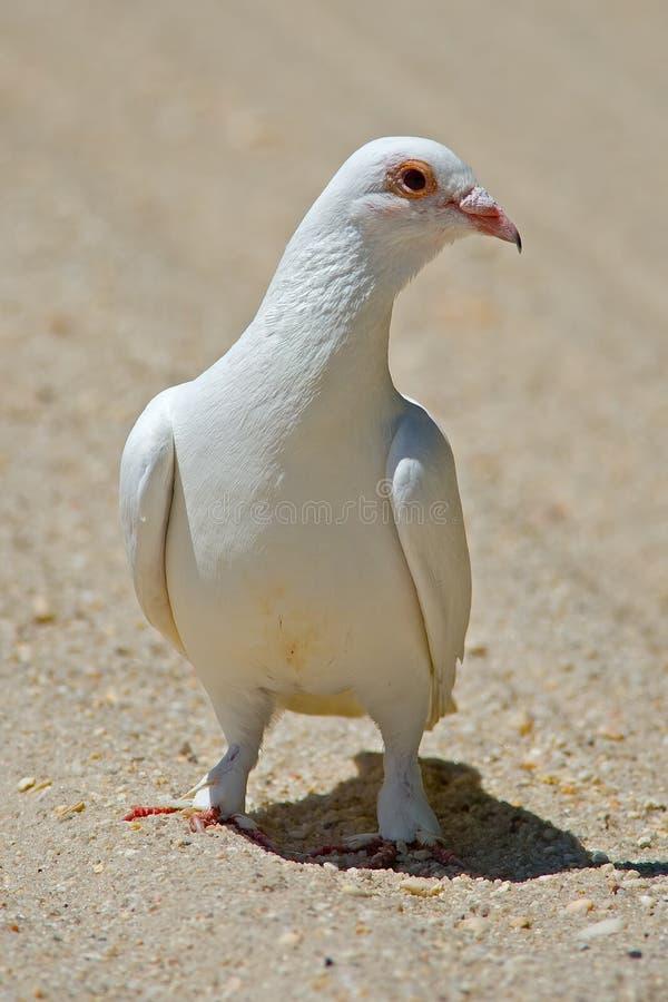 rockowy gołębia biel obraz stock
