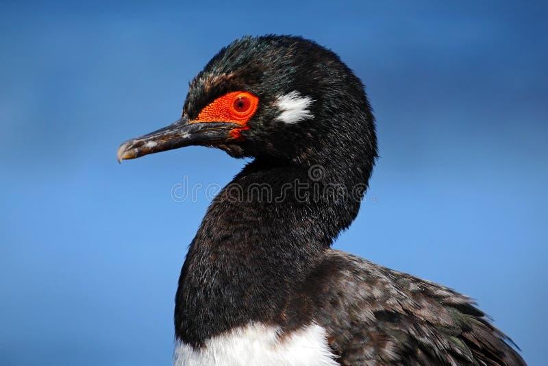Rockowy kudły, Phalacrocorax magellanicus, czarny i biały kormoran, szczegółu portret, Falkland wyspy zdjęcie stock