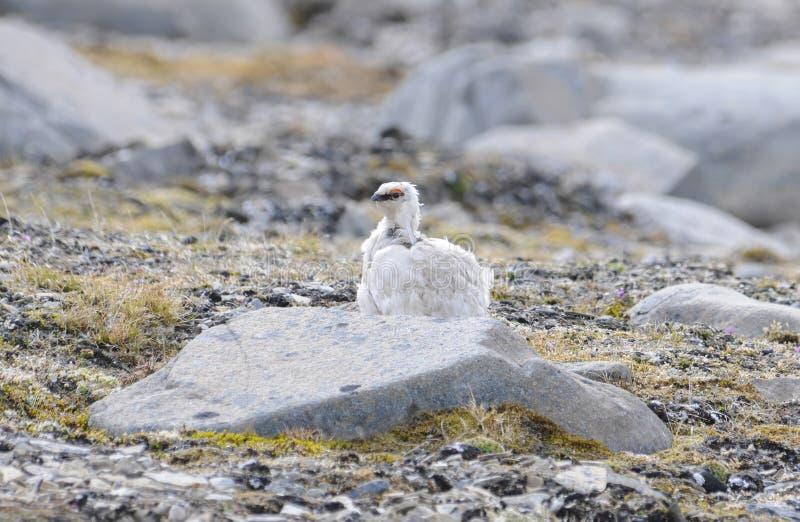 Rockowy Ptarmigan Lagopus muta Umieszczał na tundrze przy krawędzią Arktyczny ocean obrazy stock