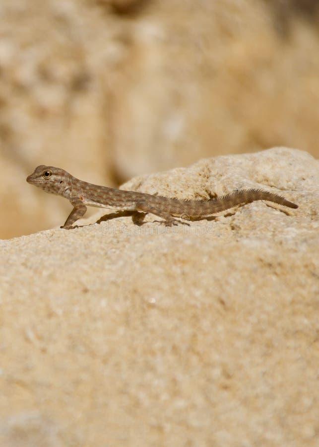 Rockowy Semaforowy gekonu irańczyka skały gekon fotografia royalty free