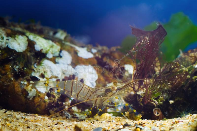 Rockpool shrimp, Palaemon elegans, saltwater decapod crustacean, look for food with its periopods and antennas. Stones in background covered with sponges and stock photo