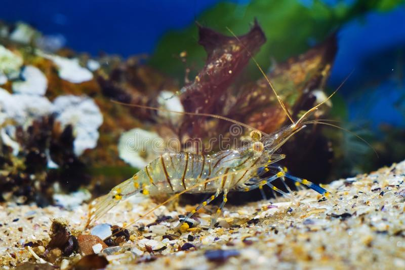 Rockpool shrimp, Palaemon elegans, saltwater decapod crustacean, runs on sand seabed, stones in background. Covered with sponges and rich vegetation of green royalty free stock photos