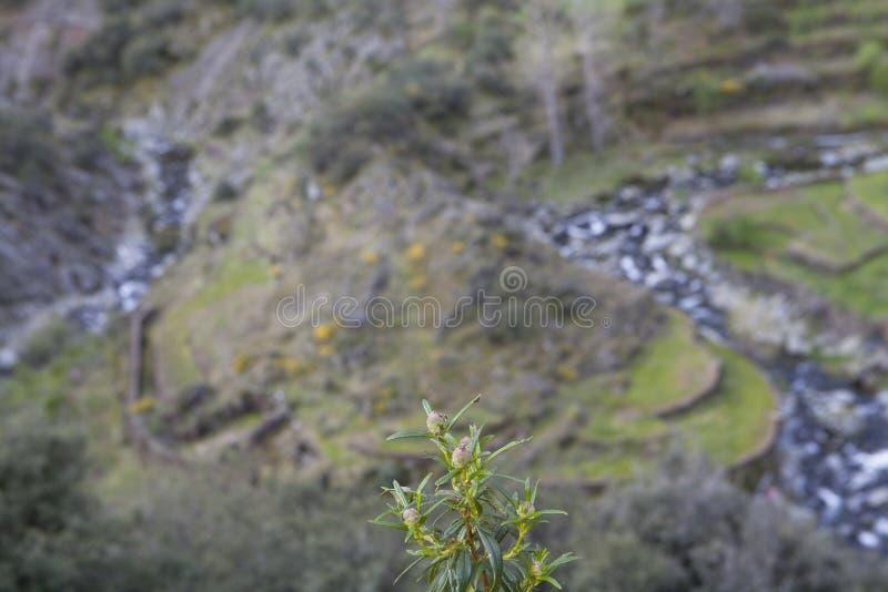 Rockrose en Meander in Las Hurdes, Extremadura stock foto's