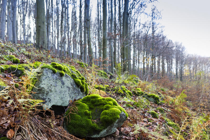 Rocks on the mountain in the background of young forest. Mountain forest with moss on rocks stock image