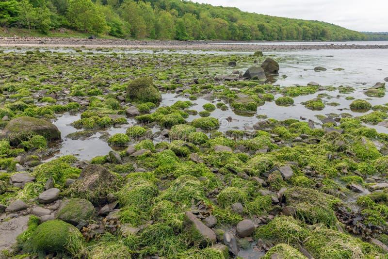 Rocks täckte med algen på kustfirthen av framåt, Skottland royaltyfri fotografi