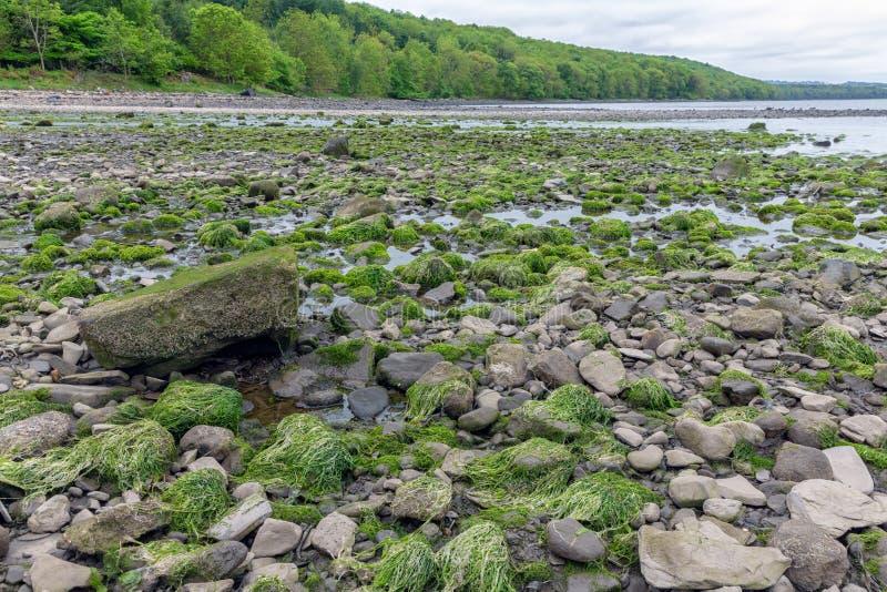 Rocks täckte med algen på kustfirthen av framåt, Skottland arkivbilder