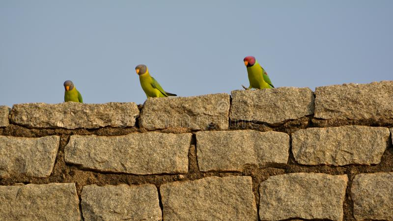 Rockstars - Plum headed parakeet Male and Female royalty free stock photos