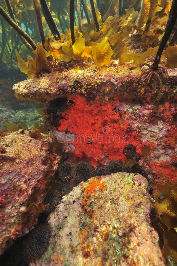 Rocky base of Pacific kelp forest stock photography