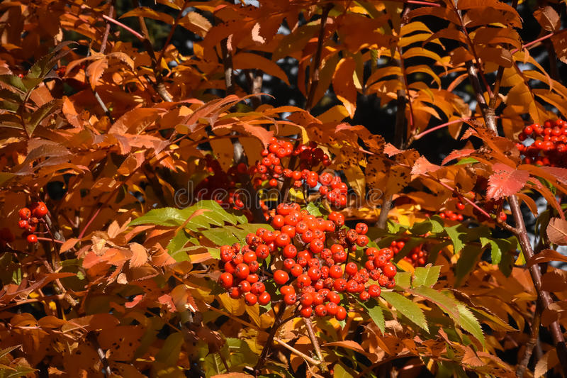 Rocky Mountain Ash Foliage and Berries royalty free stock photo